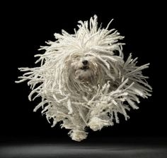 Puli dog photo | Puli, a Hungarian sheep-herding dog (photo by Tim ... | Feel Good P ...