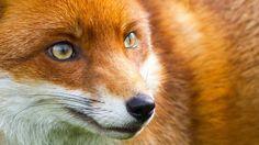 Foxyloox