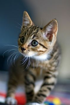 This photograph of the kitten uses depth of field in order to show details of the cat's face and whiskers.