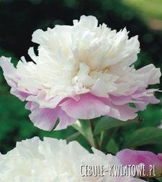 Piwonia Amabilis 1 szt.