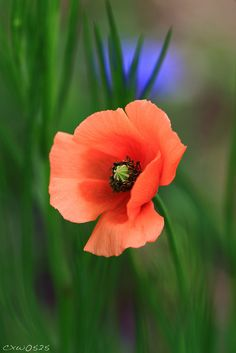 The-fotografia - Modern Flower Images, Flower Pictures, Flower Art, Amazing Flowers, White Flowers, Beautiful Flowers, Poppy Photography, California Poppy, Flowers Nature