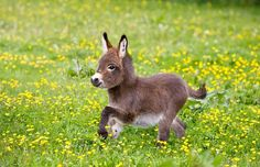 13 bonnes raisons d'abandonner tous vos projets et d'adopter un âne nain ! … 13 good reasons to give up all your projects and adopt a dwarf donkey! Baby Donkey, Cute Donkey, Mini Donkey, Baby Cows, Mini Pigs, Cute Baby Animals, Animals And Pets, Funny Animals, Miniature Donkey