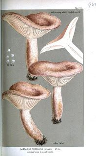 Painting of Lactarius helvus