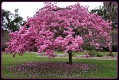 "The brazilian native tree ""Ipê Rosa"" (Pink Ipê) - Tabebuia avellanedae. It's amazing when in blossom."
