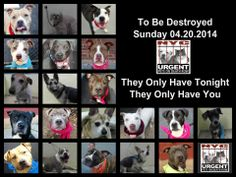 TO BE DESTROYED - 04/20/14 PITTIES ARE IN DANGER AGAIN. ALL THESE DOGS COUNT ON US!!! LET'S NOT LET THEM DOWN!!! PLEASE OPEN YOUR HEARTS AND PLEDGE, TAKE THEM HOME, BUT BE QUICK AS TIME IS TICKING AWAY. THE LIST IS VERY LONG AGAIN AND WE WE HAVE SOLITTLE TIME SO BE QUICK WHEN MAKING UP YOUR UP. https://www.facebook.com/media/set/?set=a.611290788883804.1073741851.152876678058553&type=3