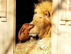 Vriendschap tussen een teckel en een leeuw.