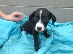 Chipin Dog For Adoption In Akron Oh Adn 684849 On Puppyfinder Com Gender Male Age Baby Dog Adoption Dogs Chihuahua Mix