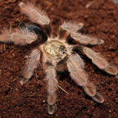 P #pulcher #tarantulas #tarantulasofinstagram #tarantulasoftheworld #spiders #spidersense