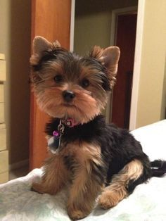 Yorkshire Terrier Everything About The Sprightly Yorkie Puppies Personality Yorkshire Terrier Haircut, Yorkshire Terrier Puppies, Yorkies, Yorkie Puppy, Teacup Yorkie, Yorkshire Macho, Cute Puppies, Cute Dogs, Puppies Puppies