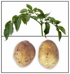 Patatas / Solanum tuberosum/ Potato / Ma ling shu: Philippine Medicinal Herbs / Philippine Alternative Medicine