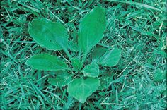 Broadleaf Plantain Weeds In Lawn, Plant Leaves, Plants, Plant, Planting, Planets