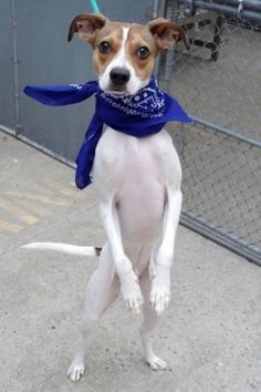 OVERLOOKED LITTLE DOG DANCING IN HIS KENNEL, FULL OF EXPECTATIONS – SUPER URGENT – OLLI aka ROWDY (A1084381) is NEUTERED baby boy who was RETURNED to Manhattan Center for NO TIME. He is friendly, affectionate, playful & likes to gives kisses. ♥ THIS LITTLE GUY IS FULL OF LOVE FOR EVERYONE & CAN'T WAIT TO JOIN YOUR FAMILY ♥ http://nycdogs.urgentpodr.org/rowdy-a1084381/