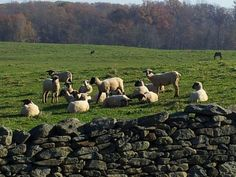 Ewes Catching some 'Rays