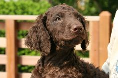 smile:) Curly Coated Retriever pup..... almost christmas!!!!!!