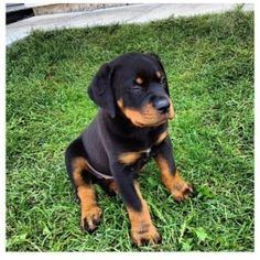 I am moving to a much smaller place and out of Ontario, this is a top of the line Rottweiler. She is a smart and really protective dog. 6 months female with shots and tail gone. She'a beautiful and I don't want to give her away but it's a must. Please contact me @6474542860 @ 647 739-4534 text or call thank you
