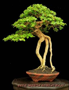 Name of bonsai: premna mycrophylla Tree height 27 cm Pot by Elsebeth Bruun Ludvigsen Design: Gede Merta Collection: Gede Merta