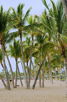 Palm Trees on Kona Beach, Hawaii