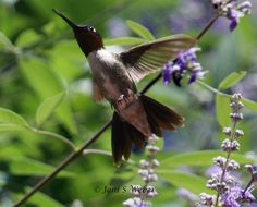 Hummingbird soaring among the Chaste tree blossoms, photo by Joni S Weber