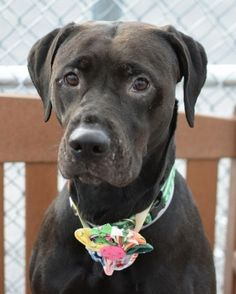 SAFE 8-17-2015 by Zani's Furry Friends Pet Rescue --- Brooklyn Center JUNE – A1046189  UNKNOWN GENDER, BLACK, LABRADOR RETR, 1 yr, 1 mo SEIZED – ONHOLDHERE, HOLD FOR EVICTION Reason OWN EVICT Intake condition EXAM REQ Intake Date 07/31/2015 http://nycdogs.urgentpodr.org/june-a1046189/