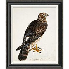 Global Gallery 'Falco Pygargus, Hen-Harrier, Fem' by Rev. Christopher Atkinson Framed Painting Print Size: