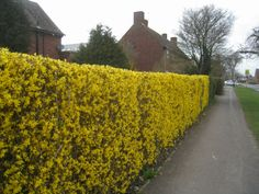 Yellow forsythia hedge by Sebastian Ballard, via Geograph