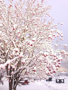 Winter - Mountain Ash tree in my yard. I love the red berries against the white snow. 2014 :)S Rod Mountain Ash Tree, Winter Mountain, Summer Garden, Winter Garden, Red Tree, Red Berries, Tree Of Life, Outdoor Gardens, Alaska