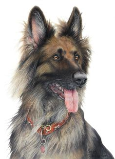 coloured pencil pet portrait german shepherd dog commission custom drawing artwork realism