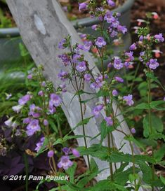 I'm singing the praises of Gulf Coast penstemon (Penstemon tenuis) today. It's in peak bloom in my garden and throughout Austin. Spires of lavender, bell-shaped flowers stand about 1 to 1-1/2 feet high in the shade or morning-sun garden and look especially nice underplanted with purple oxalis and 'Diamond Frost' euphorbia (an annual) and paired with columbine. Add pigeonberry (Rivina humilis) to the mix for low-growing summer and fall color when the penstemon and columbines are spent. Y...