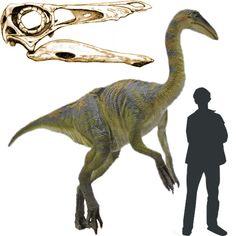 Ornithomimus Dinosaurio Terópodo de la familia de los Ornithomimosaurios, conocido como dinosaurio-aveztruz, por su gran parecido a esta ave. Era un carnívoro muy veloz que vivió a finales del Cretácico. Poseía un pequeño craneo y un cuerpo muy ligero, de ahí la agilidad en carrera. Se cree que su peso podía alcanzar los 200 kg. El craneo terminaba en un pico, similar al de las aves actuales. Longitud: 3,5 metros Encontrado en Norteamérica