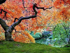 Oh, how I wish our climes would allow us to grow these beauties...Japanese maples
