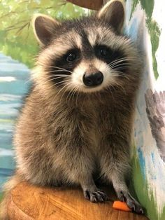Cute Funny Animals, Funny Animal Pictures, Cute Baby Animals, Animals And Pets, Cute Creatures, Beautiful Creatures, Animals Beautiful, Pet Raccoon, Tier Fotos