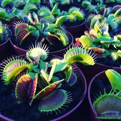 Typical #venusflytrap #vft #carnivorousplants #dionaea #green #monster by kamil.sagan