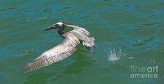 http://carol-groenen.artistwebsites.com/art/all/all/all/birds+ #pelicans #brownpelicans #birdphotographs