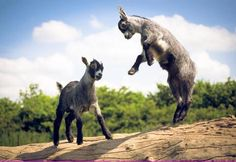 Jump for joy! We had goats when I was little. I will have goats again. Mini Goats, Cute Goats, Baby Goats, Funny Babies, Cute Babies, Farm Animals, Cute Animals, Baby Sheep, My Husky