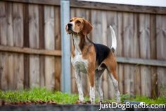 My dog, Clay. An English foxhound. English Foxhound, American Foxhound, Dog Breeds List, Different Dogs, The Fox And The Hound, Types Of Dogs, Hound Dog, Dogs Of The World, Dog Names