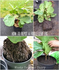 How to repot a Fiddle Leaf Fig, Fiddle Leaf Fig Tree Care - Whats Ur Home Story