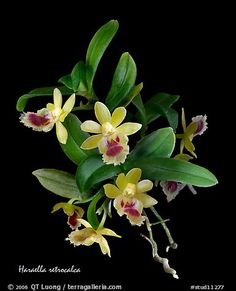 Haraella retrocalca. A species orchid