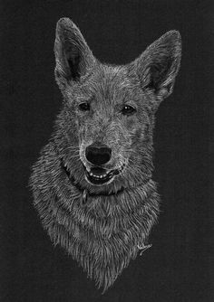 Dierenportret zwitserse witte herder: Wit potlood en houtskool op zwart papier (2016)