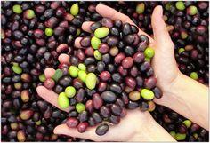 Il Molino segue una coltivazione esclusivamente biologica, solo le olive prodotte nel terreno di proprietà vengono molite nel frantoio aziendale.  Le olive sono raccolte con la tecnica della spazzolatura delle fronde.   La lavorazione è separata per cultivar, il denocciolato frantoio, leggero e il canino dal sapore più forte.  L'olio extra vergine d'oliva bio IL MOLINO ha ottenuto la certificazione DOP Tuscia.