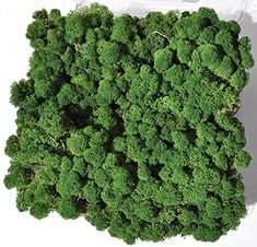 Reindeer Moss, Preserved - Dark Green, Pounds) in a Designer Series Clear Case. (Reico Art 108054 - Soft and Colored Reindeer Moss) Wedding Pins, Arts And Crafts Supplies, Detox Tea, Amazon Art, Sewing Stores, Preserves, Reindeer, Sewing Crafts, Diy And Crafts