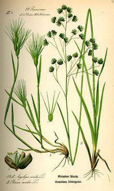 Aegilops geniculata (Gramineae)