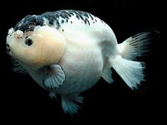 goldfish/ kingyo/ ranchu: looks obese to me...  reminds me of someone lol