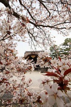 cerisier japonais, magnificance des branches fleuries