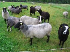 Grey finsheep (also known as kainuun harmas or kainuu grey).  I just bought yarns made in Finland from this rare Heritage breed at the woolgrey shop on etsy https://www.etsy.com/shop/woolgrey
