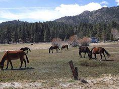 Horses Pasturing