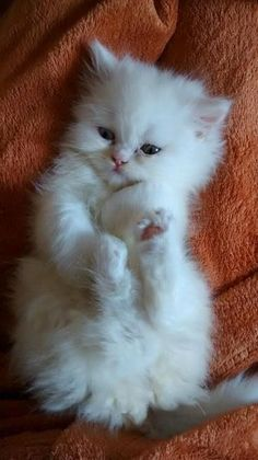 44 Ideas For Cats Pretty Fluffy Kittens White Kittens, Cute Cats And Kittens, I Love Cats, Crazy Cats, Kittens Cutest, Siamese Kittens, Bengal Cats, Pretty Cats, Kitty Cats