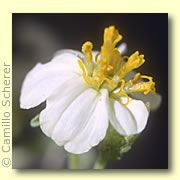 Desert Alchemy Essences: White Desert Zinnia: Those who have a discouraged attitude towards life and who believe that they can never quite get ahead can use this flower essence. It helps bring the ability to laugh at ourselves or a situation and open ourselves to lightness, merriment and renewal.