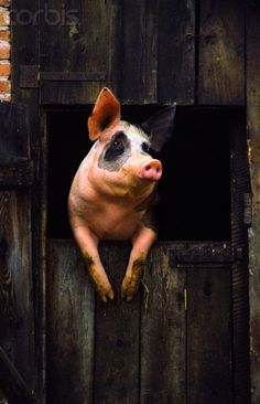 Pigs are the fourth most intelligent non human species after ape, elephant and dolphin.