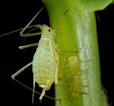 Home Remedies for Aphids-Garden pests destroy leaves, flowers, and new growth by feasting on the vital plant parts and spreading disease.  To protect your garden and other outdoor spaces, consider home remedies for aphids.  #aphids #remedies