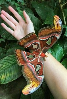 """Atlas Moth ~ Click through the large version for a full-screen view (on a black background in Firefox), set your computer for full-screen. ~ Mik's Pics """"Butterflies and Moths ll"""" board Cool Insects, Bugs And Insects, Butterfly Pictures, Butterfly Art, Beautiful Bugs, Beautiful Butterflies, Beautiful Things, Beautiful Creatures, Animals Beautiful"""
